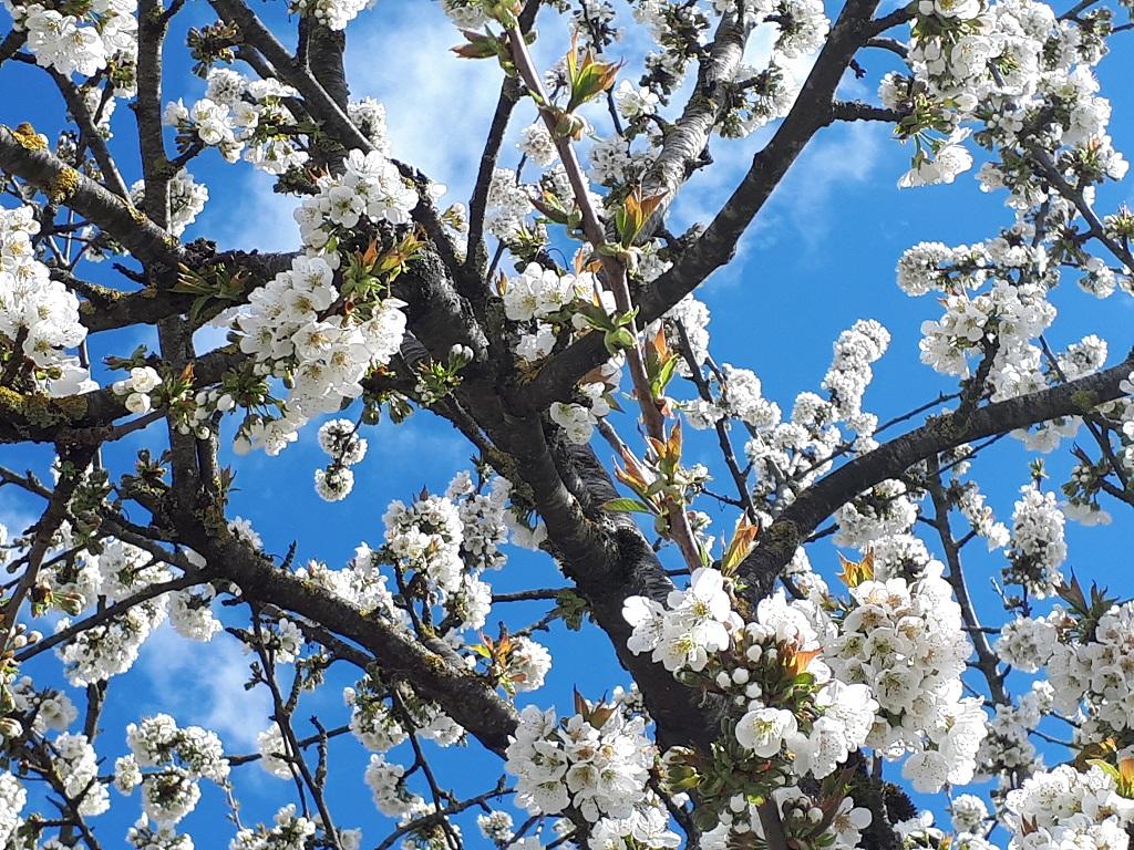 Site_cerisiers
